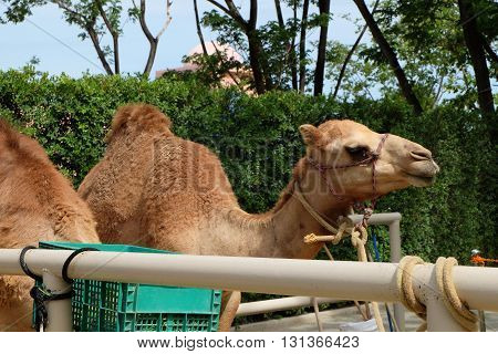 cute brown camel in park in thailand