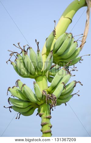 close up green banana tree in fruit garden