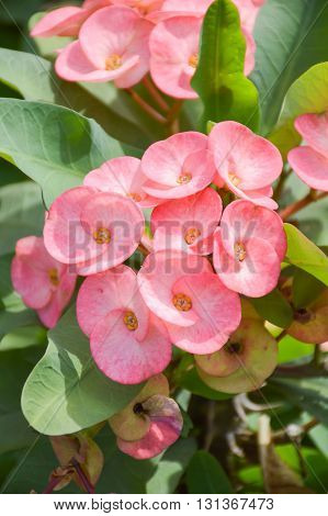 close up pink Euphorbia flower in nature garden
