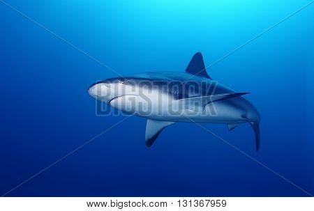 Great White Shark swimming Underwater in the ocean