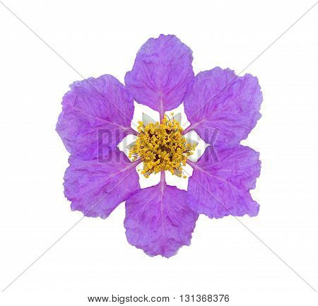 Lagerstroemia loudoni Teijsm flower isolated on white background with clipping path