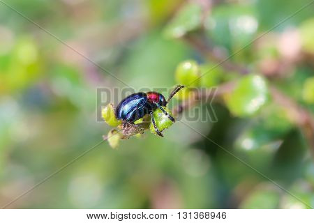 blue scarabaeidae on branch tree in the garden and eating leaves is food.