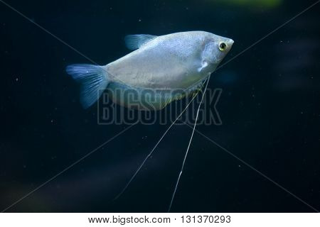 Moonlight gourami (Trichopodus microlepis), also known as the moonbeam gourami. Wildlife animal.
