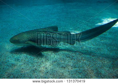 Zebra shark (Stegostoma fasciatum). Wild life animal.