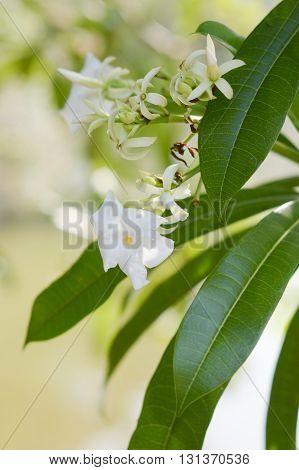 white pong pong flower in nature garden