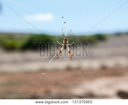 Western Australian golden orb weaving spider suspended on a wheel shaped web with black body and banded white and brownish-orange legs.