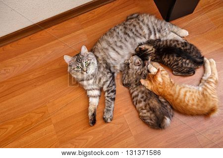 Kuril Bobtail cat feeds kittens. It is taken from a high angle. Thoroughbred cat. Cute and funny kitten. Pet.