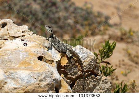 lizard sitting on a rock basking in the hot, summer sun