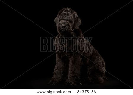 Big Russian Black terrier Dog Sitting on Isolated Background Front view