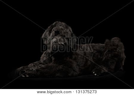 Big Russian Black terrier Dog Lying and Looking in Camera on Isolated Background Side view