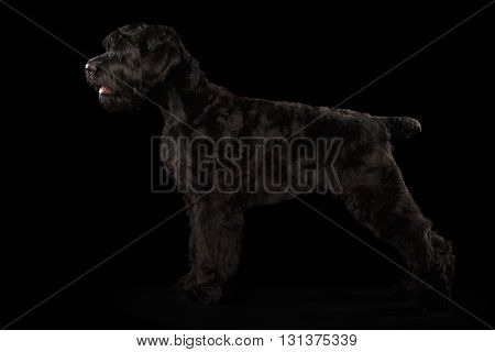 Big Russian Black terrier Dog Standing on Isolated Background Side view