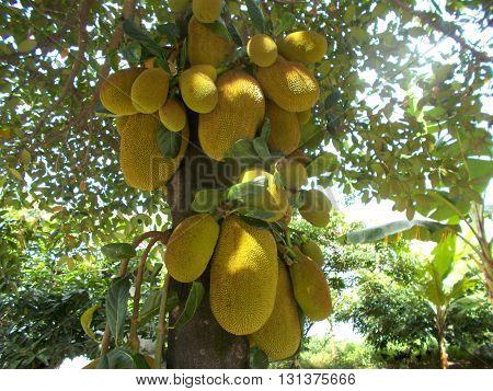 Many jackfruit hanging on the jackfruit tree. Old and young jackfruit.