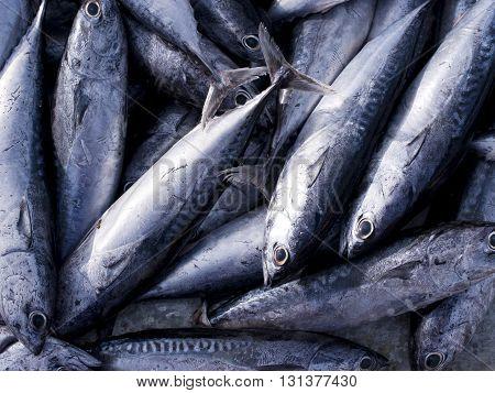 Tuna Eastern little tuna Thunnini Longtail tuna Northern bluefin tuna.