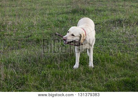 the dog breed Labrador is chewing a stick