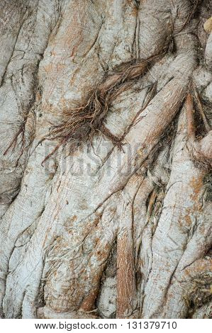 close up dry banyan bark tree texture
