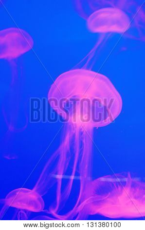 moon jellyfish or aurelia aurita in aquarium