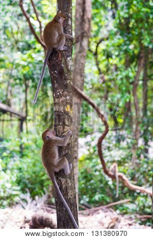 Young macaque monkey climbing on tree in the forest