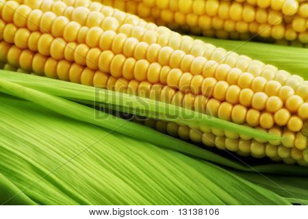 Corn on the cob between green leaves