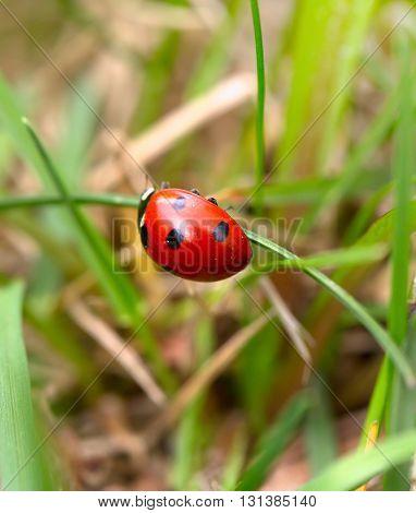 Ladybug on a green blade. Macro small depth of sharpness