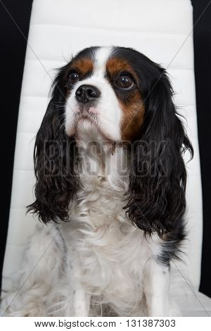 Young Puppy Cavalier King Charles Tricolor Sitting On A Table