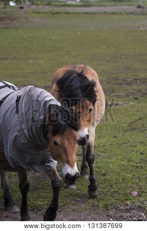 a couple of the swedish gotland pony