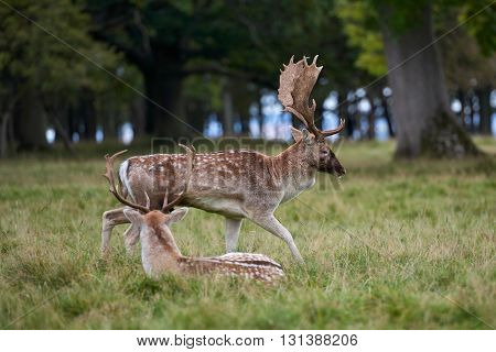 Close-up fallow deer standing in autumn wood