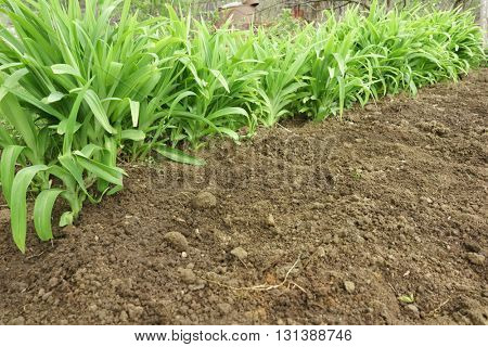 Green long leaves grass growing in a soil