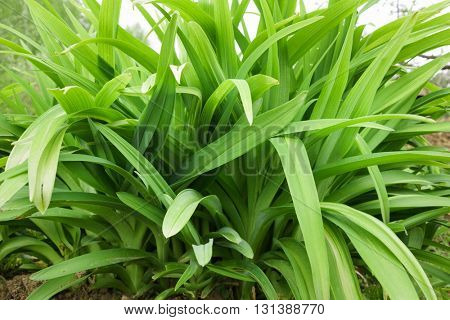 Green long leaves grass abstract background