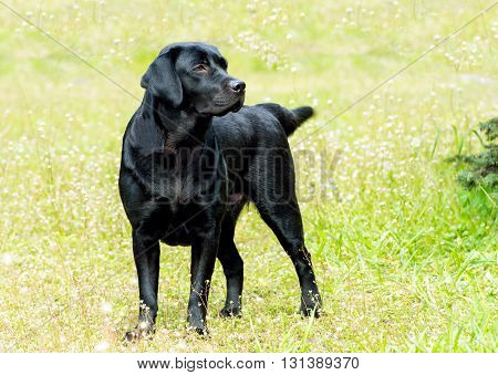 Labrador black looks. Labrador Retriever is on the green grass.