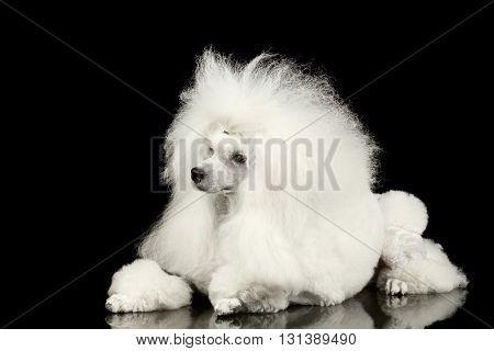 White Groomed Poodle Dog Lying on Mirror Isolated on Black Background