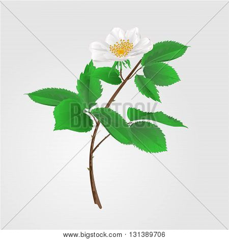 Wild rose twig with leaves and flowers vector illustration
