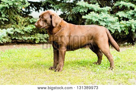 Labrador yellow stands.  Labrador Retriever is on the green grass.