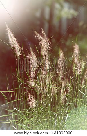 Wild Field Of Grass On Sunset, Soft Sun Rays, Warm Toning, Lens Flares
