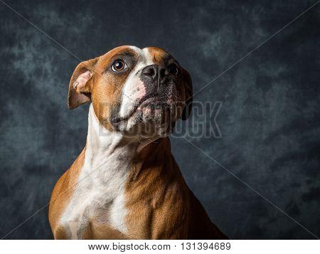 American Bull Dog