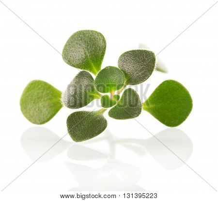 Sprig houseplant aichryson closeup isolated on white background.