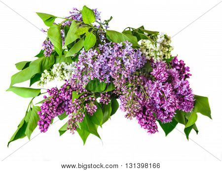 Bouquet of lilac isolated on white background