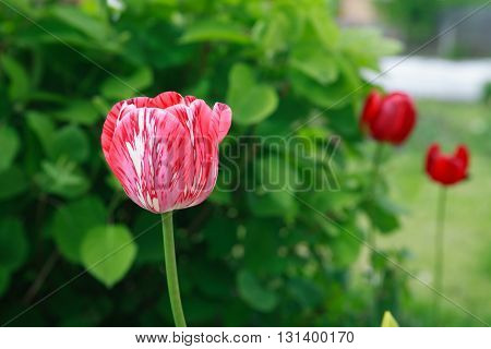Closeup of nice red tulip against green leaves background