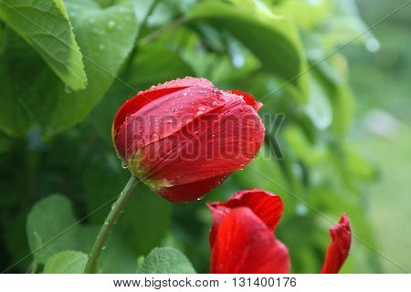 Closeup of nice red tulip with water drops against green leaves background