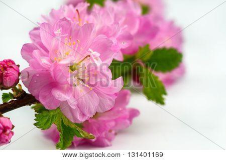 Japanese cherry flowers isolated on white background