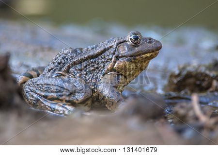 Big Marsh Frog