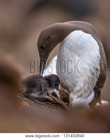 Common Guillemot With Chick