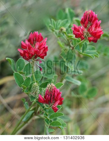 Red Common Kidney Vetch field, red Kidney vetch plant field popular in Malta, Purple clover flowers,red field in spring time, maltese flora