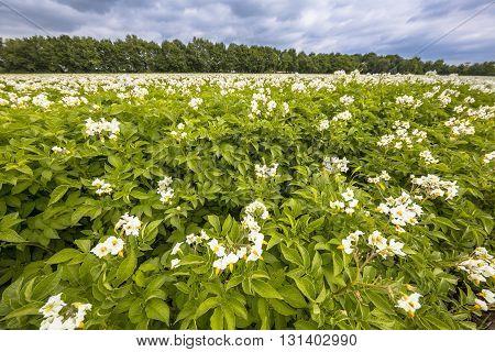 White Flowers In Potato Field