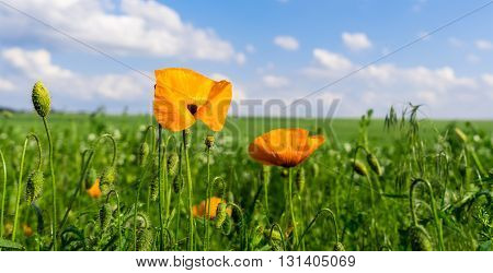 Close up of California Poppy yellow field.