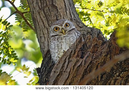 Spotted owlet Athene brama Birds of Thailand