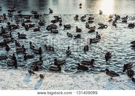 a lot of ducks in frozen pond