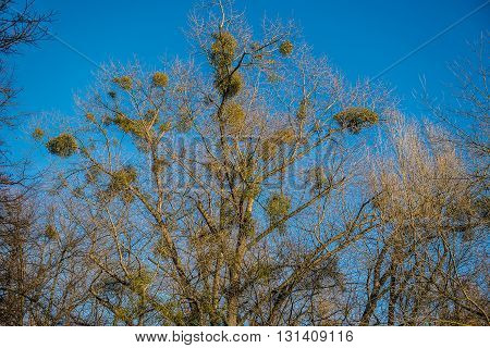 a lot of mistletoe attached to tree branches