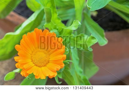 Closeup photo of English marigold flower (Calendula officinalis) in orange yellow color with blurred background