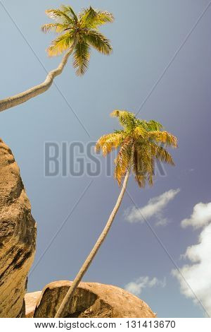 Two palm trees with rocks in The Baths Virgin Gorda BVI