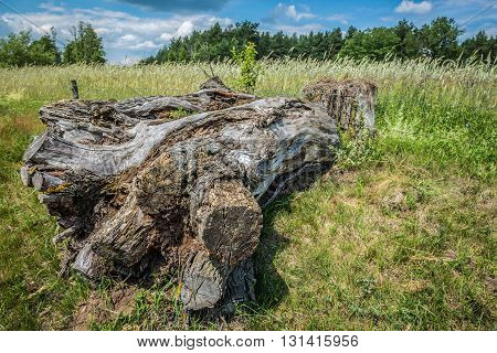 old tree trunk on countryside in Mazovia region Poland